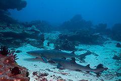 Featured Whitetip Reef Sharks Padang Bai Bali 240x160