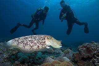 padi open water diver student with balinese instructor looking at pharoah cuttlefish in padangbay 320px