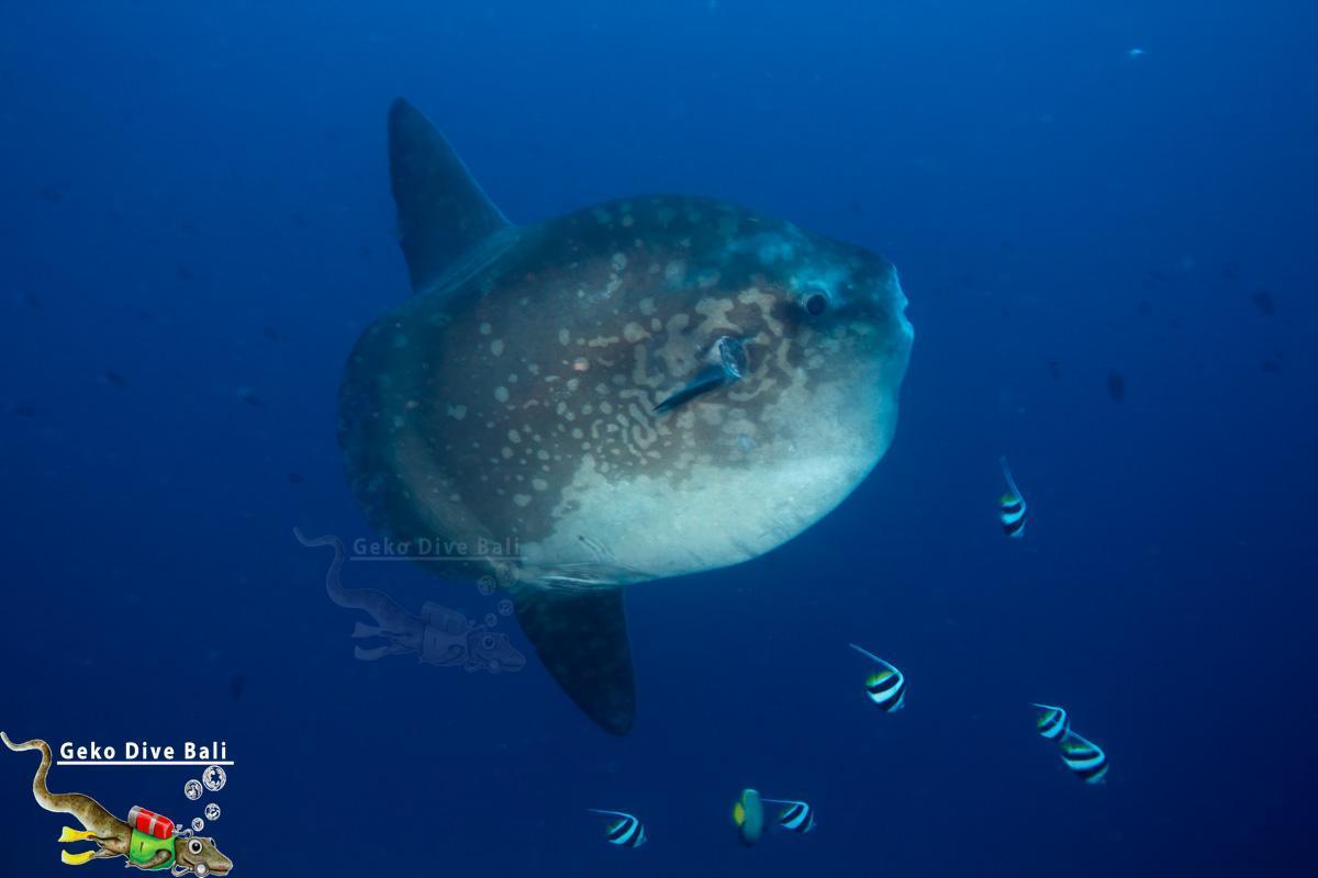 Gili mimpang shark junction scuba dive sites from padang - Padi dive sites ...